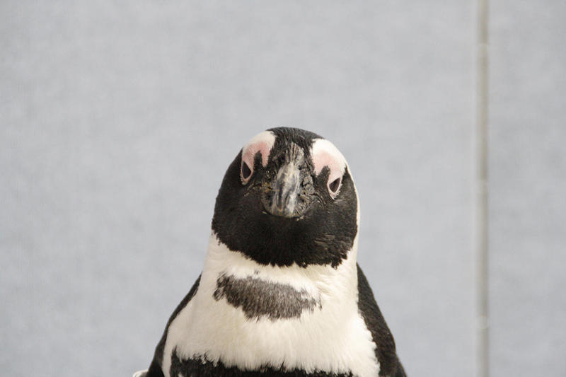 Stanley The Penguin at Pittsburgh's National Aviary